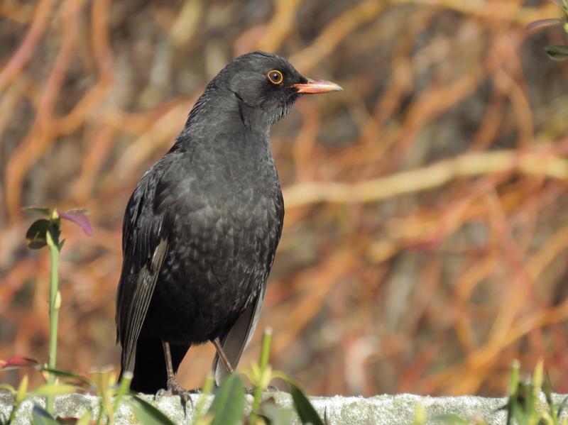 4. Ptačí přátelé (kos černý, Uherské Hradiště)