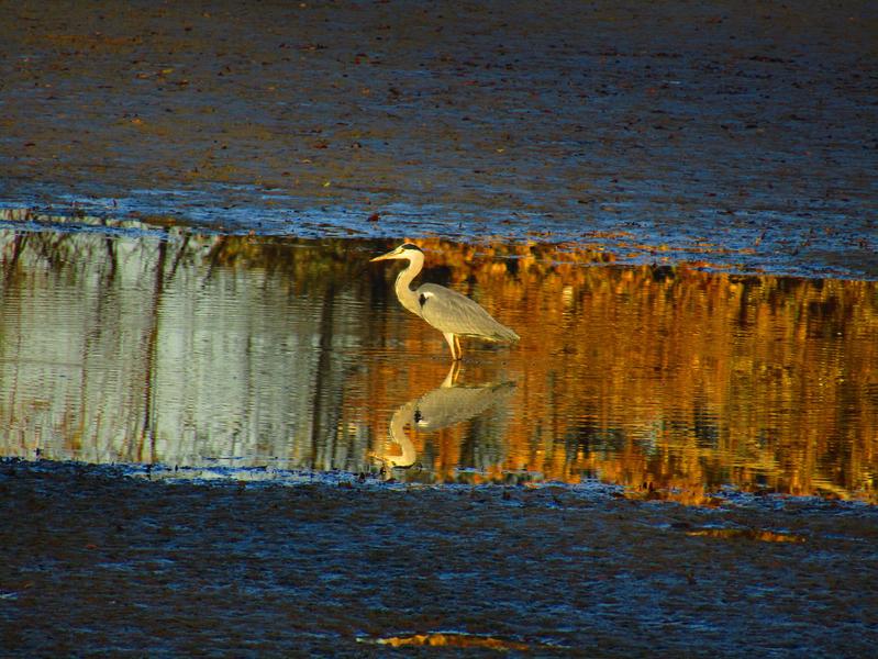 Volavka na vypuštěném rybníku