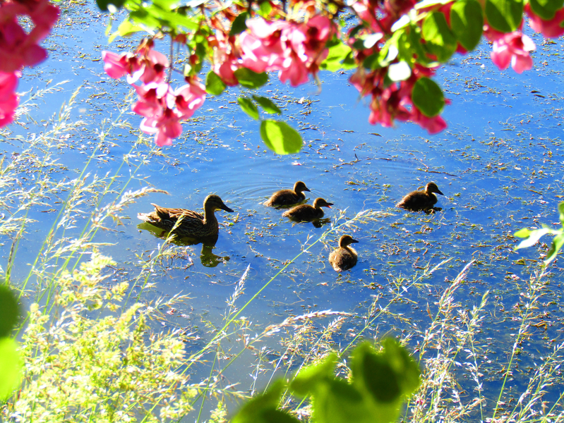 kachna divoká s mláˇfaty na rybníku Havaj