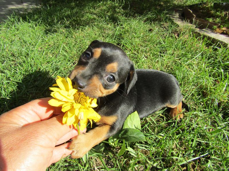 štěňátko s květimou