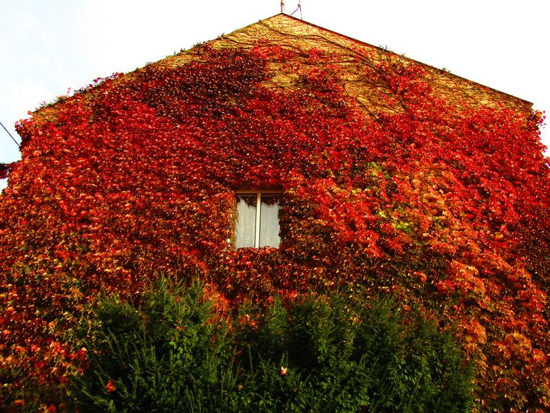 zelený keř a rudé listy přísavníku na domě