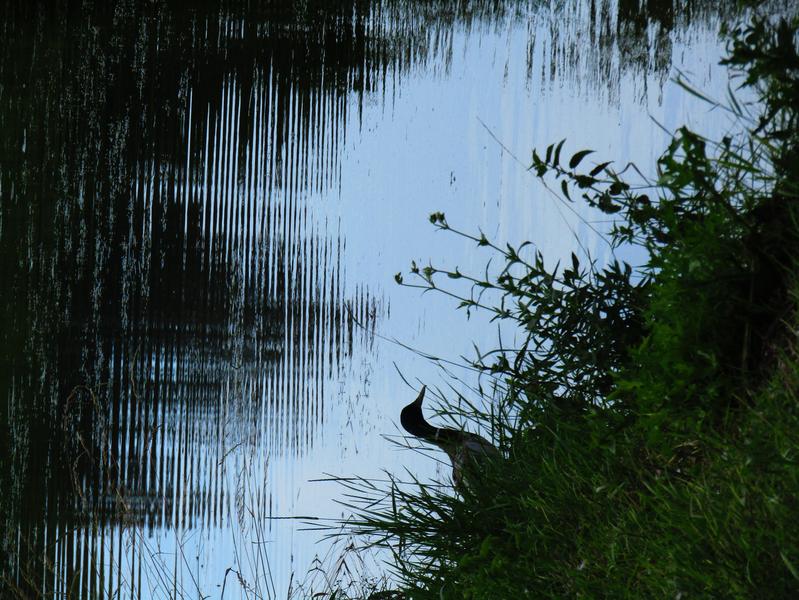 Volavka u rybníka Havaj