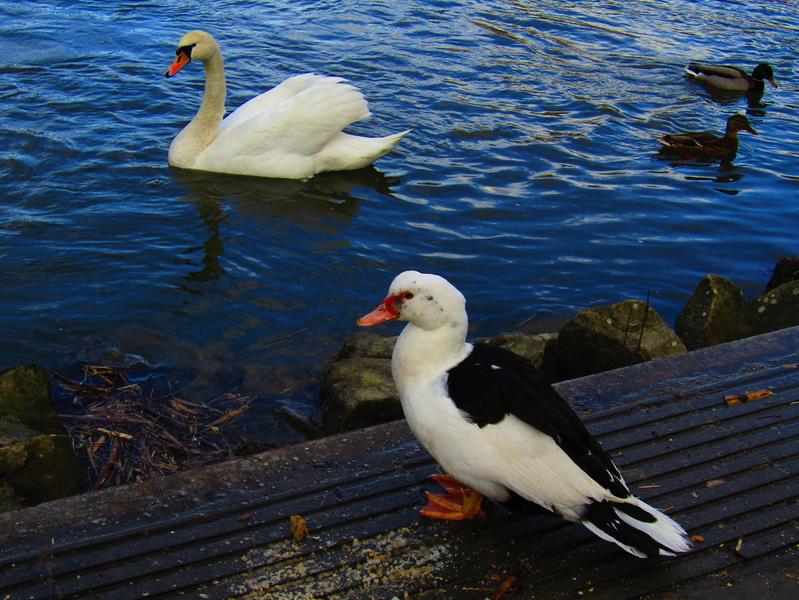 činská kachna, labuť velká a kachny divoké na Moravě