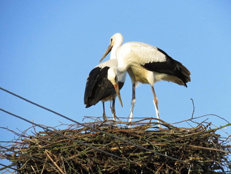 2. Ptačí přátelé (čáp bílý, Kostelany nad Moravou)