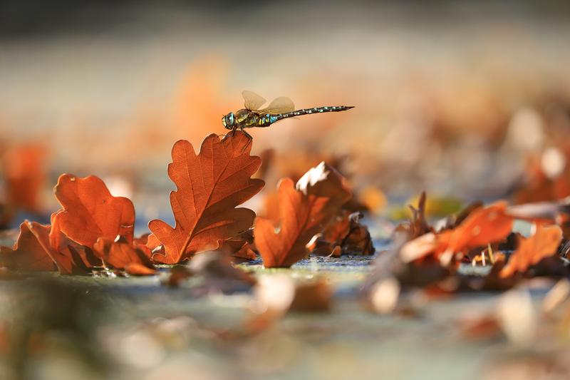 Šídlo pestré v barvách podzimu