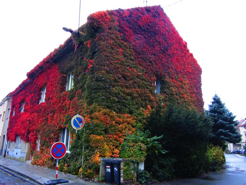 Dům porostlý na podzim rudě zbarveným přísavníkem