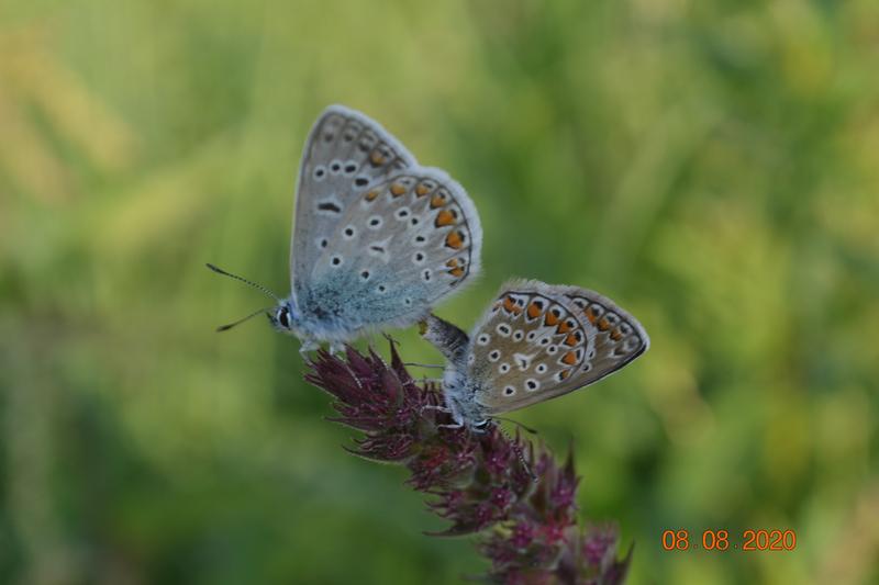 Páření modráčků u břehu Moravy
