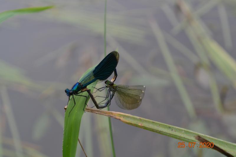 Páření motýlic