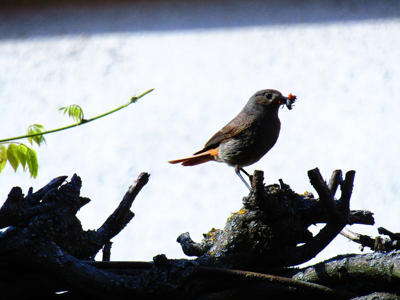 samice Rehka zahradního s potravou v zobáčku